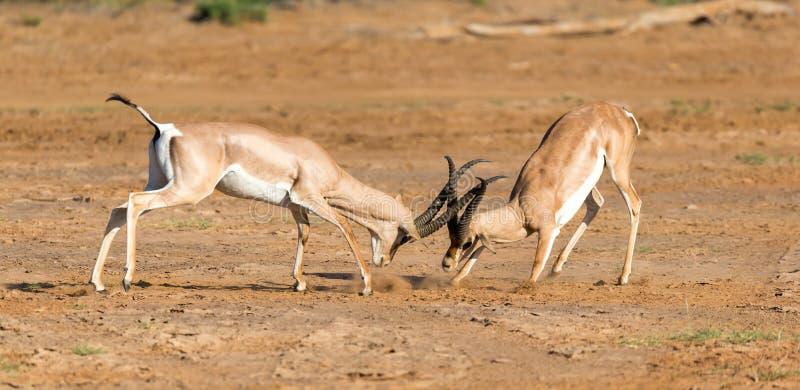 Μια μάχη δύο της επιχορήγησης Gazelles στη σαβάνα της Κένυας στοκ φωτογραφίες με δικαίωμα ελεύθερης χρήσης