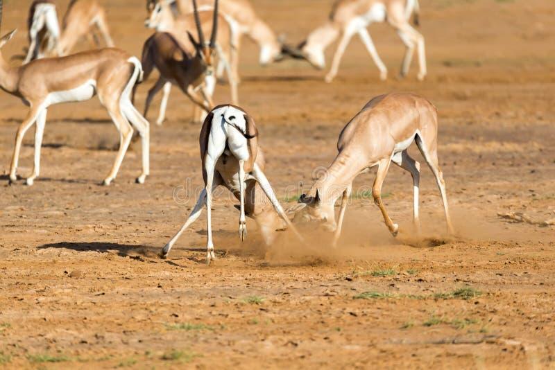 Μια μάχη δύο της επιχορήγησης Gazelles στη σαβάνα της Κένυας στοκ εικόνα