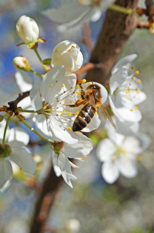 Μια μέλισσα κάθεται σε ένα κλαδί γλυκού κερασιού με λευκά ευαίσθητα πέταλα στοκ φωτογραφία με δικαίωμα ελεύθερης χρήσης