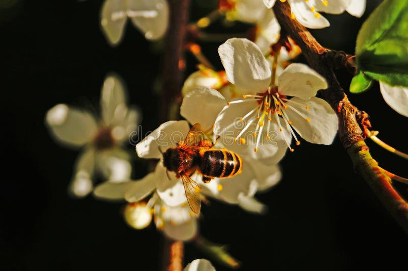 Μια μέλισσα κάθεται σε ένα κλαδί γλυκού κερασιού με λευκά ευαίσθητα πέταλα στοκ εικόνα