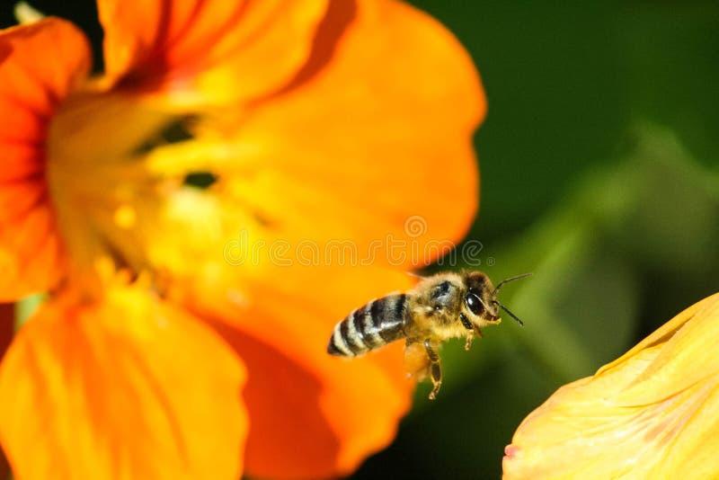 Μια μέλισσα και μια κίτρινη μακροεντολή λουλουδιών στοκ εικόνες με δικαίωμα ελεύθερης χρήσης