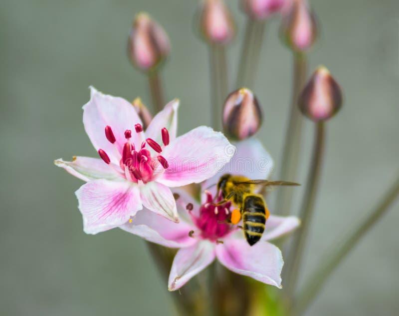 Μια μέλισσα, λεπτομέρεια, Πράγα στοκ εικόνα με δικαίωμα ελεύθερης χρήσης