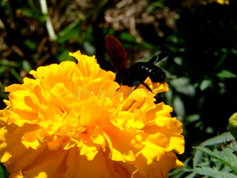 Μια μέλισσα ξυλουργών σε ένα κίτρινο λουλούδι στοκ φωτογραφία