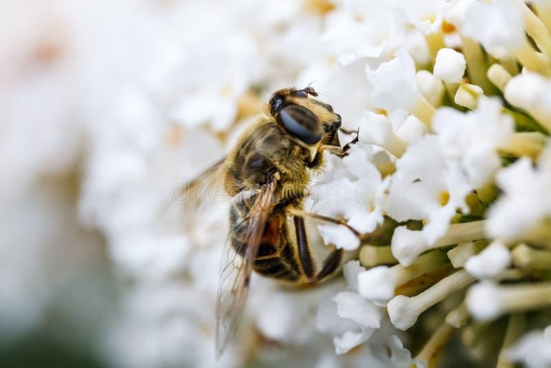 Μια μέλισσα που ψάχνει κάποιο νέκταρ στοκ φωτογραφίες