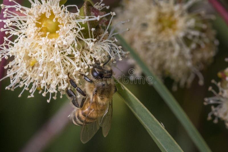 Μια μέλισσα σε ένα λουλούδι που ψάχνει το νέκταρ στοκ φωτογραφίες με δικαίωμα ελεύθερης χρήσης
