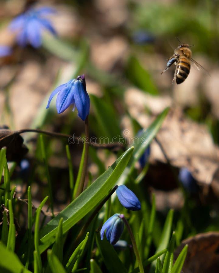 Μια μέλισσα συλλέγει τα μπλε λουλούδια Scilla μορφής γύρης στοκ φωτογραφίες