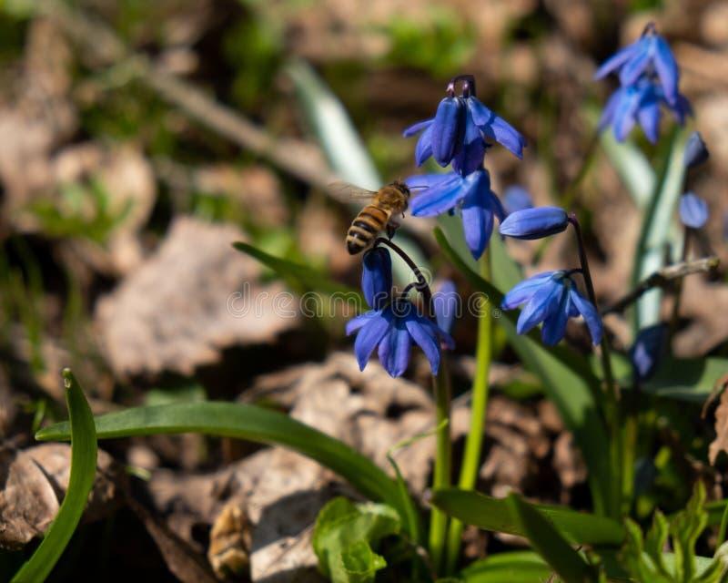Μια μέλισσα συλλέγει τα μπλε λουλούδια Scilla μορφής γύρης στοκ φωτογραφία με δικαίωμα ελεύθερης χρήσης