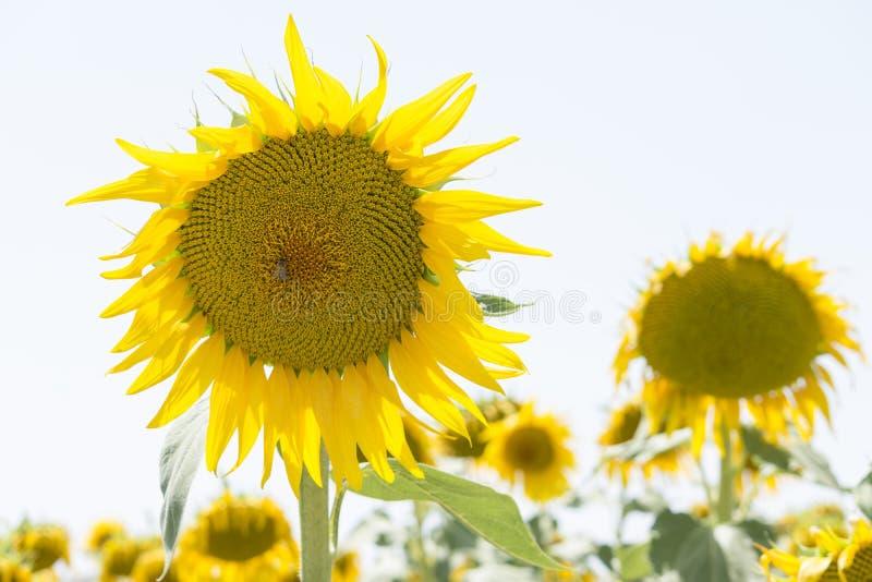 Μια μέλισσα ταΐζει με το λουλούδι στοκ εικόνες
