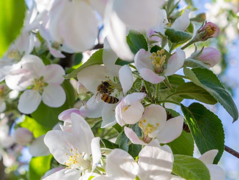 Μια μέλισσα επικονιάζει ένα μήλο λουλουδιών στοκ εικόνα με δικαίωμα ελεύθερης χρήσης