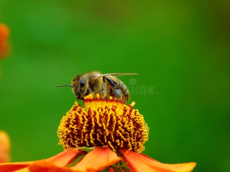 Μια μέλισσα που παίρνει ένα νέκταρ στοκ φωτογραφία με δικαίωμα ελεύθερης χρήσης