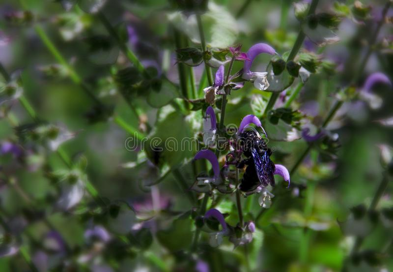 Μια μαύρη μέλισσα ξυλουργών με τα πορφυρά φτερά συλλέγει το νέκταρ από τα λουλούδια της φασκομηλιάς Xylocopa latipes στοκ εικόνα με δικαίωμα ελεύθερης χρήσης