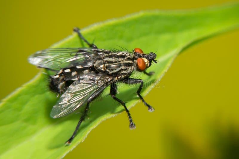 Μια μαύρη μεγάλη μύγα κάθεται σε ένα πράσινο φύλλο στοκ φωτογραφία με δικαίωμα ελεύθερης χρήσης