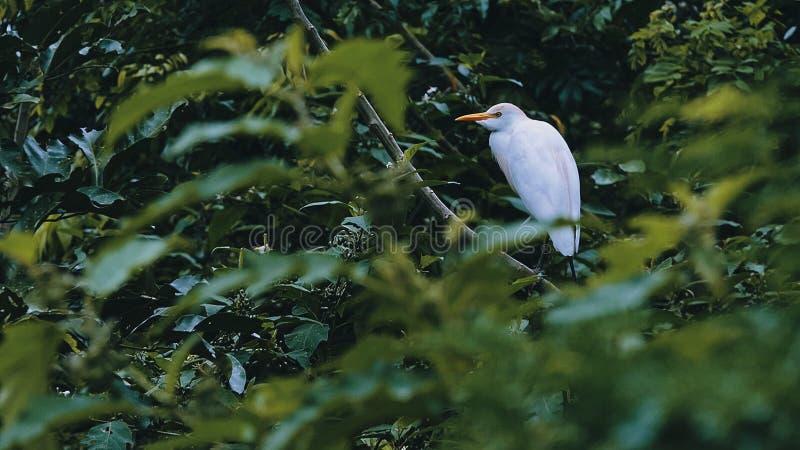 μια μεγάλη άσπρη συνεδρίαση πουλιών τσικνιάδων ή ερωδιών σε έναν κλάδο στο θόλο ζουγκλών τροπικών δασών κοντά σε έναν ποταμό στοκ φωτογραφία