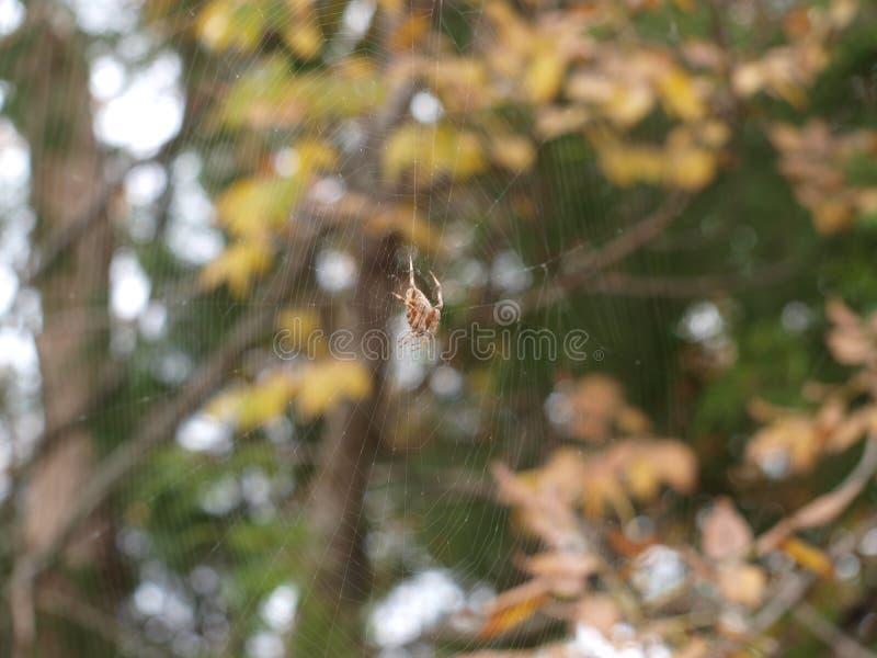 Μια μεγάλη αράχνη περιστρέφει τον Ιστό της σε Leff από μια ώρα στοκ φωτογραφία με δικαίωμα ελεύθερης χρήσης