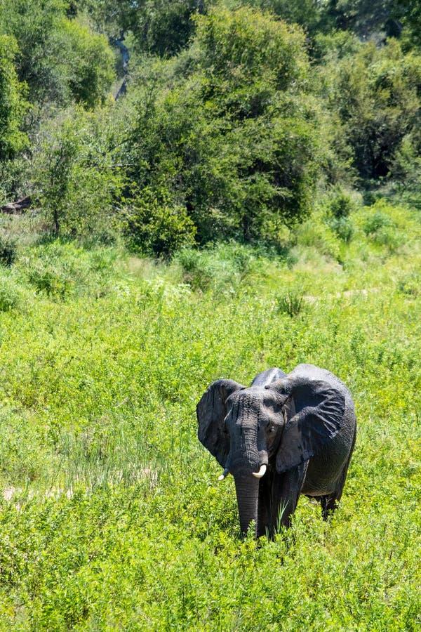 Μια μεγάλη θηλυκή αγελάδα ελεφάντων πήγε μέσω μιας κοίτης ποταμού στοκ φωτογραφίες