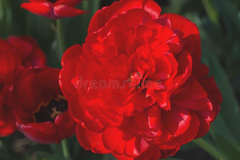 Μια μεγάλη κόκκινη peony τουλίπα Tulipa εξωραΐζει το κρεβάτι λουλουδιών στον κήπο Πολλά πέταλα σε ένα λουλούδι E στοκ φωτογραφία με δικαίωμα ελεύθερης χρήσης