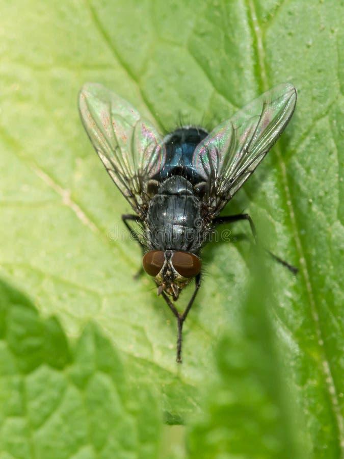 Μια μεγάλη μύγα κάθεται σε ένα πράσινο φύλλο στοκ εικόνες