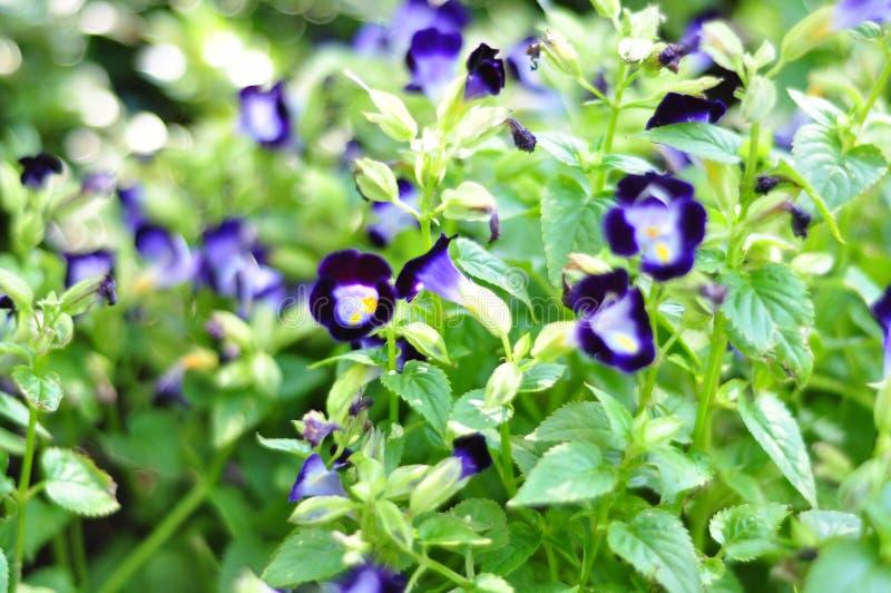 Μια μεγάλη ομάδα πορφυρών λουλουδιών στην πλήρη άνθιση στοκ εικόνες