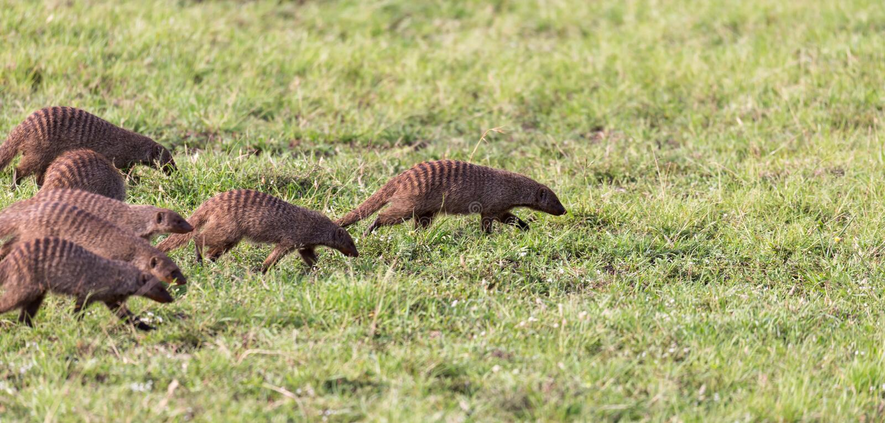 Μια μεγάλη ορδή mongooses των τρεξιμάτων μέσω της κενυατικής σαβάνας στοκ εικόνα με δικαίωμα ελεύθερης χρήσης
