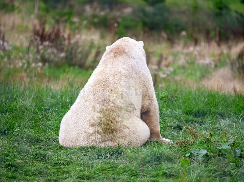 Μια μεγάλη πολική αρκούδα κάθεται το κοίταγμα μακρυά από τη κάμερα σε έναν πράσινο τομέα στοκ φωτογραφίες με δικαίωμα ελεύθερης χρήσης