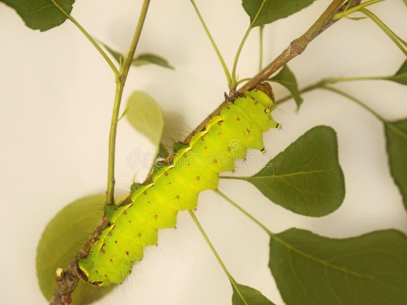 Μια μεγάλη πράσινη κάμπια του ινδικού σκώρου φεγγαριών, Actias selene, σε έναν κλάδο δέντρων στοκ εικόνες
