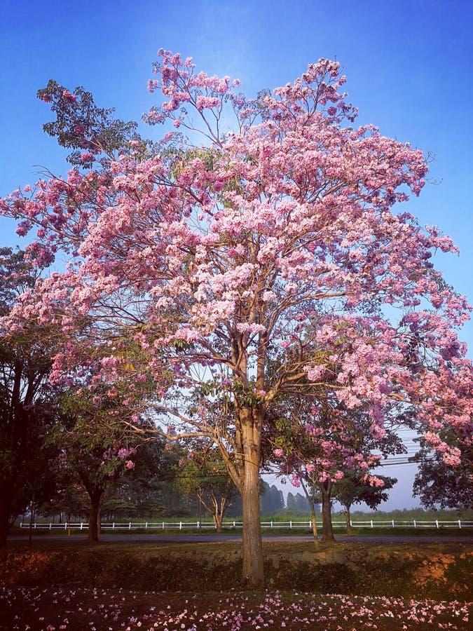 Μια μεγάλη σάρκα χρώματος δέντρων ρόδινη στο φωτισμό ουρανού μαλακό στοκ φωτογραφία με δικαίωμα ελεύθερης χρήσης