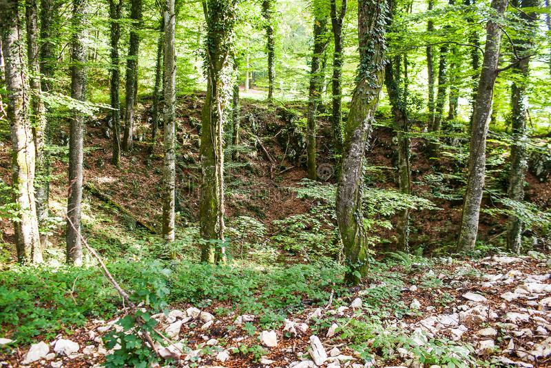 Μια μεγάλη τρύπα στο δάσος με τα δέντρα που εισβάλλονται με το βρύο στοκ εικόνα