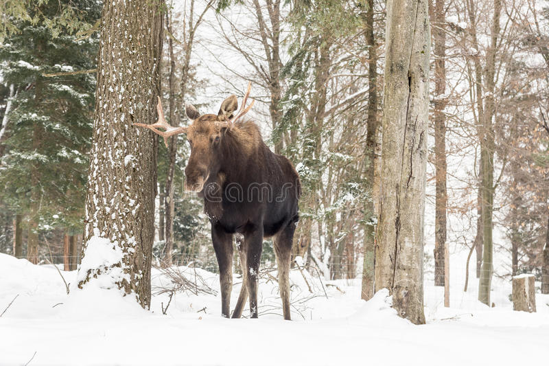 Μια μεγάλη αρσενική άλκη σε μια χειμερινή σκηνή στοκ φωτογραφία με δικαίωμα ελεύθερης χρήσης