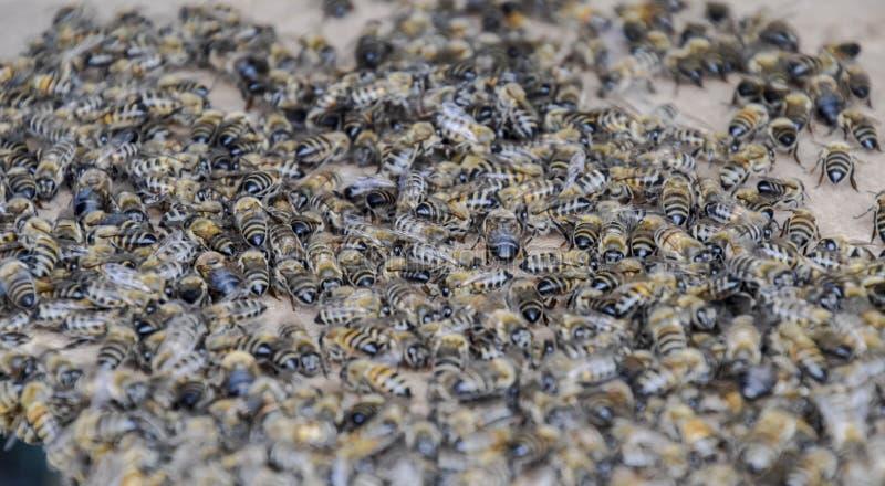 Μια μεγάλη συμφόρηση των μελισσών σε ένα φύλλο του χαρτονιού Συρροή των μελισσών λεπτομερής η μέλισσα απομονωμένη μέλι μακροεντολ στοκ εικόνες με δικαίωμα ελεύθερης χρήσης