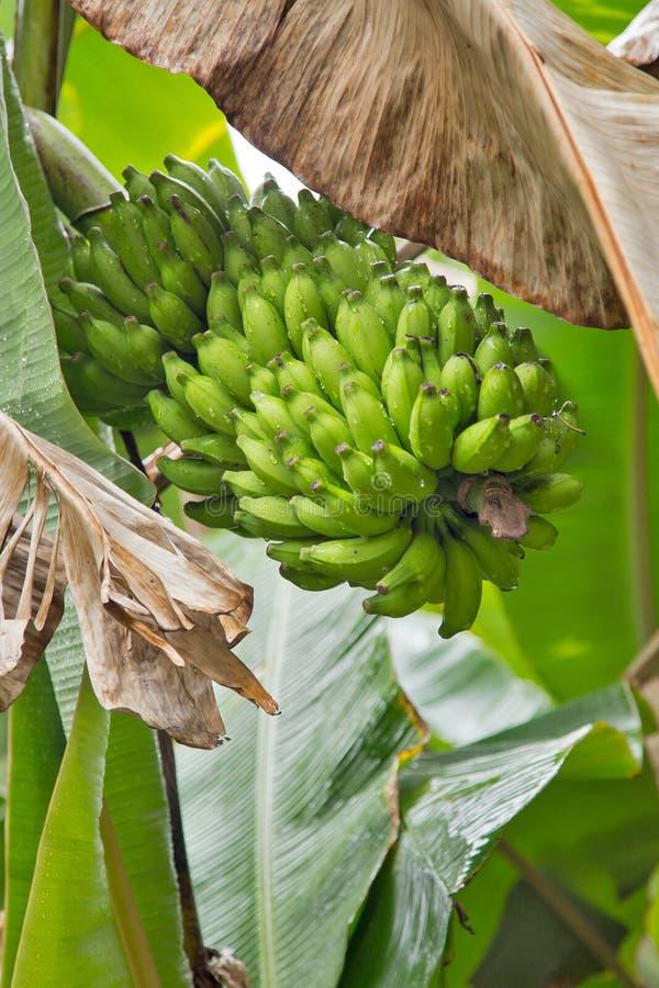 Μια μεγάλη σύνδεση των μπανανών σε έναν φοίνικα στοκ φωτογραφία