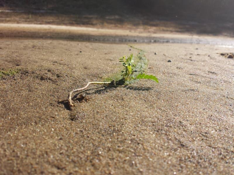 Μια μικρή ανάπτυξη εγκαταστάσεων στην άμμο στοκ φωτογραφία με δικαίωμα ελεύθερης χρήσης