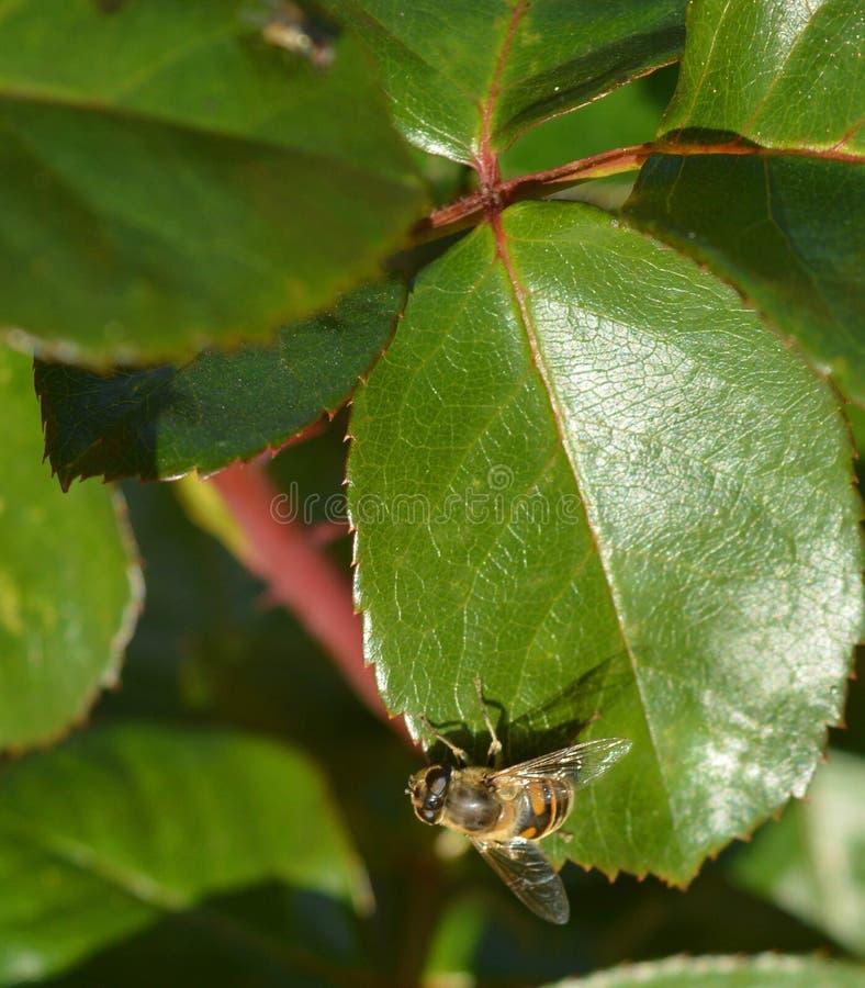 Μια μικρή μέλισσα στην πράσινη άδεια στοκ φωτογραφίες με δικαίωμα ελεύθερης χρήσης