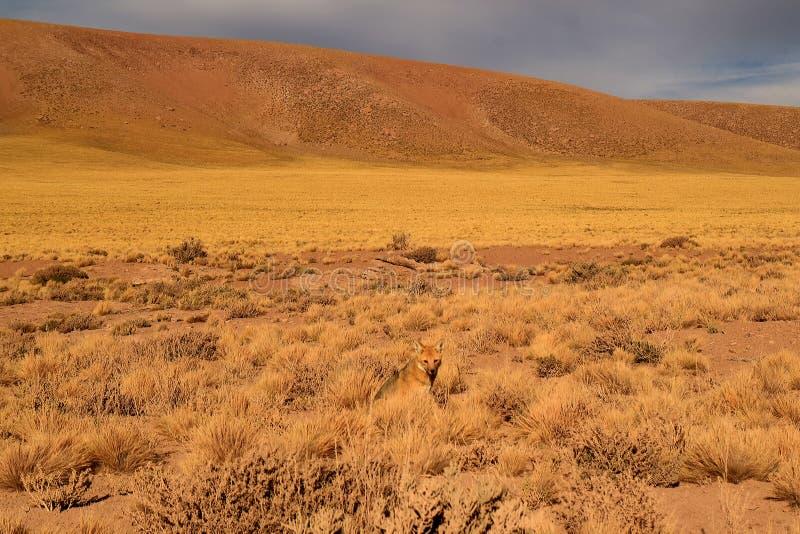 Μια μικρή των Άνδεων χαλάρωση αλεπούδων στον τομέα βουρτσών ερήμων, έρημος Atacama, Χιλή στοκ φωτογραφίες