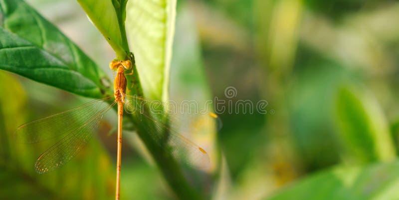 Μια μικροσκοπική μύγα δράκων σε ένα φρέσκο φύλλο στοκ φωτογραφίες με δικαίωμα ελεύθερης χρήσης