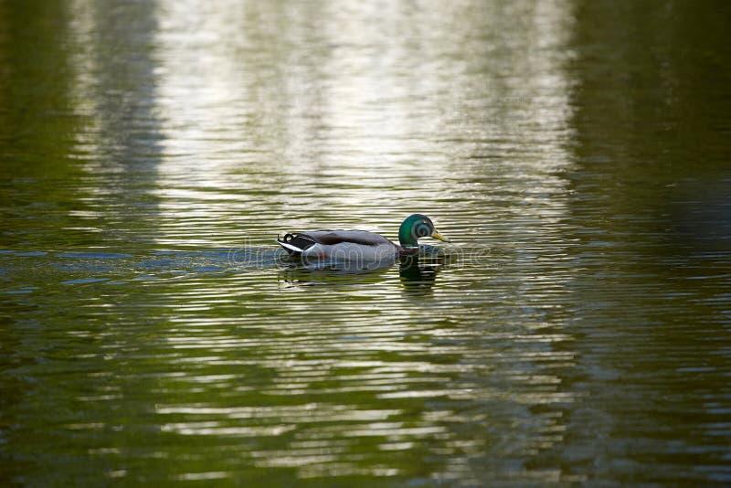 Μια μόνη πάπια κολυμπά στη λίμνη στοκ εικόνες