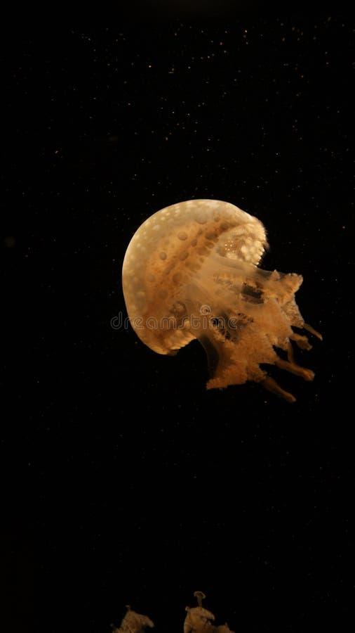 Μια μόνο κίτρινη διαφανής μέδουσα στα σκοτεινά μαύρα βαθιά νερά codl της θάλασσας Σε ένα Aqurium στοκ εικόνες με δικαίωμα ελεύθερης χρήσης