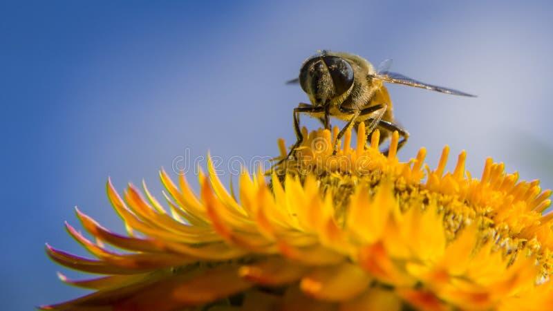 Μια μύγα που στηρίζεται σε ένα φωτεινό λουλούδι στοκ φωτογραφίες με δικαίωμα ελεύθερης χρήσης