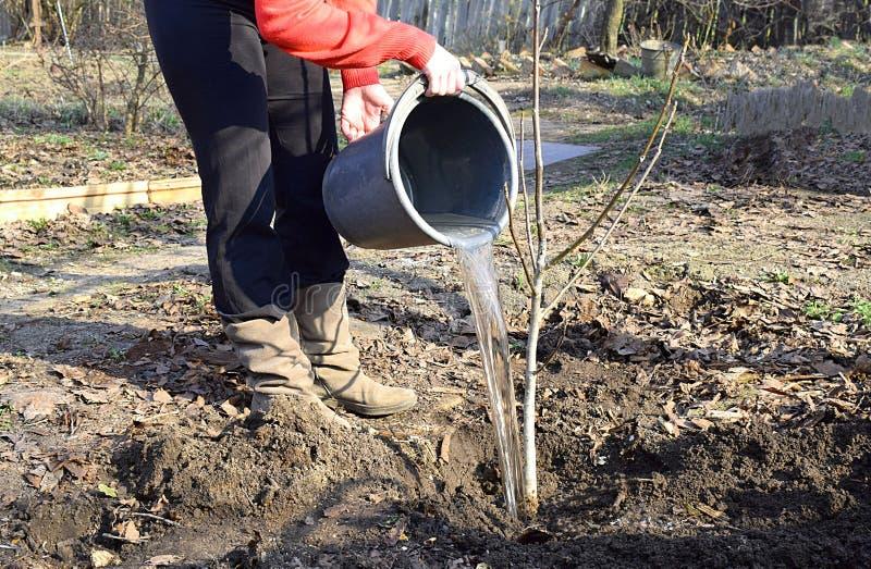 Μια νέα γυναίκα ποτίζει ένα σπορόφυτο ξύλων καρυδιάς στοκ εικόνες με δικαίωμα ελεύθερης χρήσης