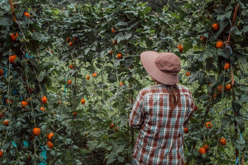 Μια νέα γυναίκα που συγκομίζει τις οργανικές ντομάτες στοκ φωτογραφία με δικαίωμα ελεύθερης χρήσης