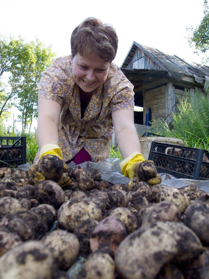 Μια νέα γυναίκα ταξινομεί μια συγκομιδή πατατών στοκ εικόνα με δικαίωμα ελεύθερης χρήσης