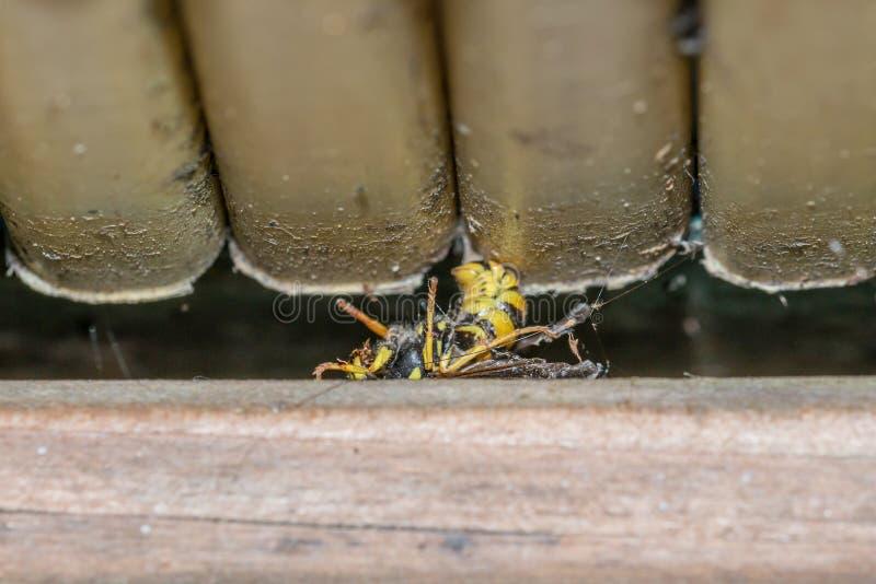 Μια νεκρή σφήκα στο πάτωμα ενός μπαλκονιού, Γερμανία στοκ εικόνα