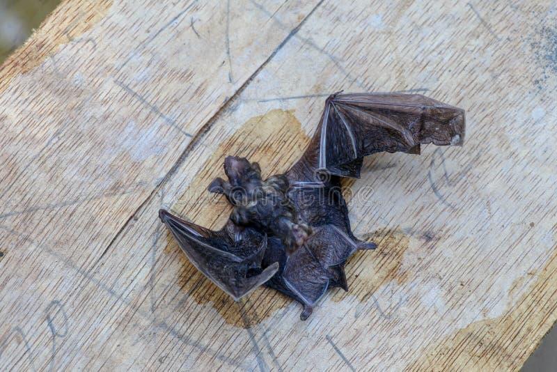 Μια νυχτερίδα με προεξέχοντα φτερά βρίσκεται σε ξύλινη επιφάνεια Κοντινό πλάνο μικρής νυχτερίδας με μαύρες τρίχες και φτερά μικρά στοκ φωτογραφία με δικαίωμα ελεύθερης χρήσης