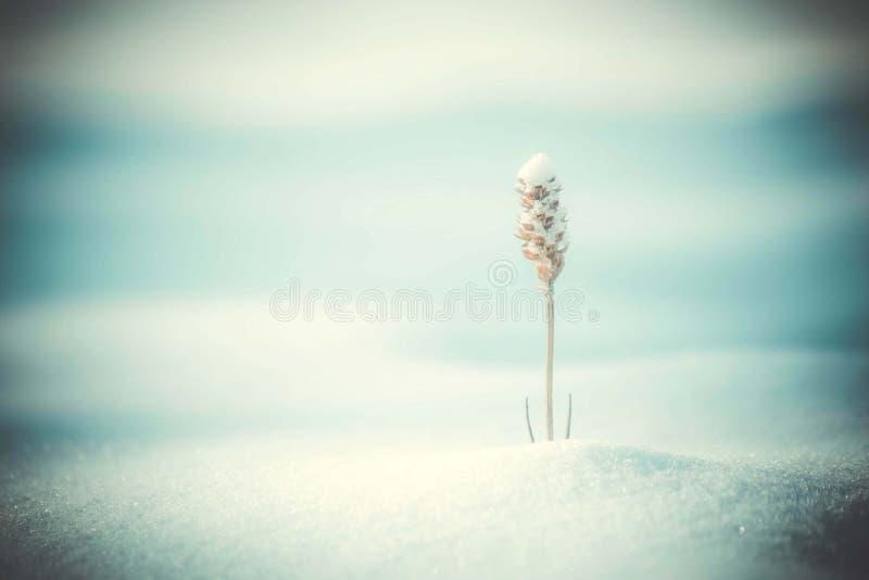 μια ξηρά χλόη κάτω από το χιόνι, φίλτρο κινηματογραφήσεων σε πρώτο πλάνο στοκ εικόνες
