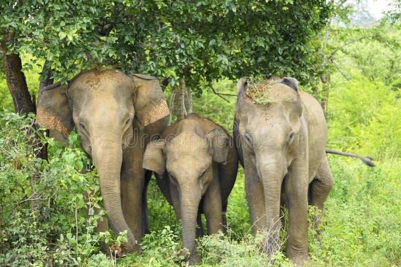 Μια οικογένεια των ασιατικών ελεφάντων στοκ εικόνα