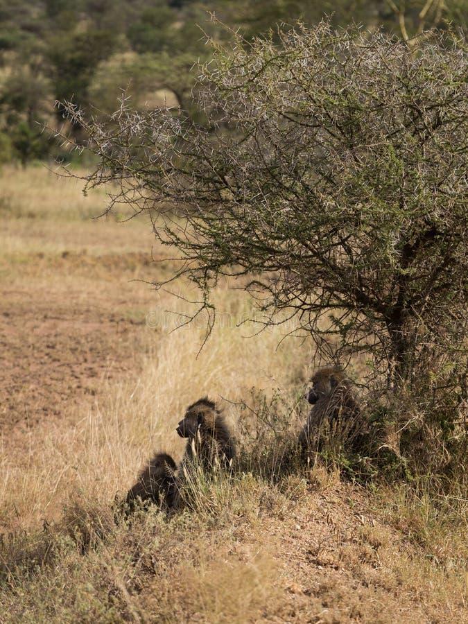 Μια οικογένεια baboons στοκ φωτογραφία με δικαίωμα ελεύθερης χρήσης