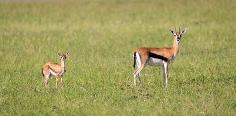 Μια οικογένεια Thomson gazelles στη σαβάνα της Κένυας στοκ φωτογραφία με δικαίωμα ελεύθερης χρήσης