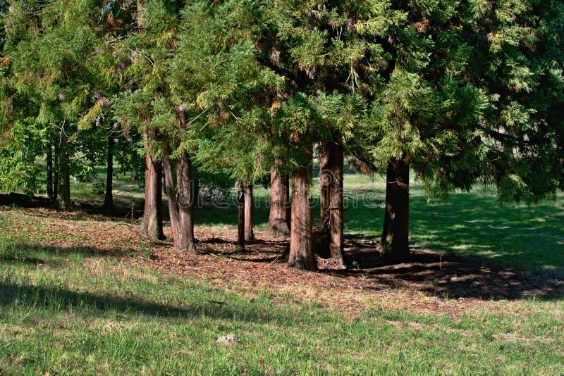 Μια ομάδα δέντρων με τους κορμούς και τη σκιά στοκ φωτογραφίες με δικαίωμα ελεύθερης χρήσης