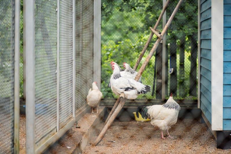 Μια ομάδα ελαφριών κοτόπουλων και κοκκόρων του Σάσσεξ στοκ εικόνες
