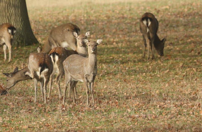 Μια ομάδα θηλυκού Manchurian nippon mantchuricus Cervus ελαφιών Sika ή ελαφιών Sika Dybowski ή nippon dybowskii Cervus που βόσκει στοκ φωτογραφίες με δικαίωμα ελεύθερης χρήσης