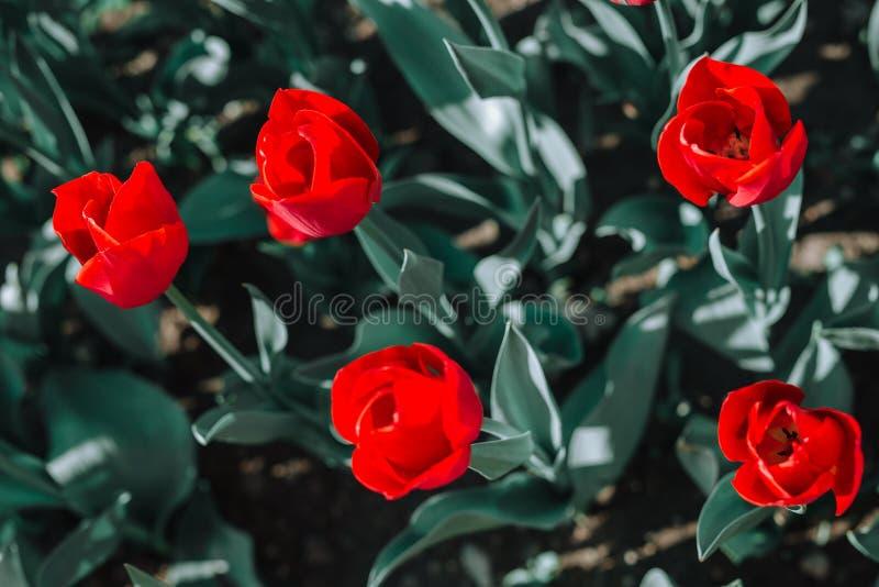 Μια ομάδα κόκκινων τουλιπών στο πάρκο στοκ φωτογραφία με δικαίωμα ελεύθερης χρήσης